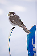 A gray jay (Perisoreus canadensis) stands on the tip of backcountry skis at the Elfin Lakes Hut in Garibaldi Provincial Park, British Columbia, Canada.