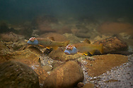 Bluehead Chubs<br /> <br /> Isaac Szabo/Engbretson Underwater Photography