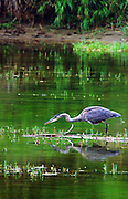 Great blue heron fishing in the Yaak River. Yaak Valley in the Purcell Mountains, northwest Montana.