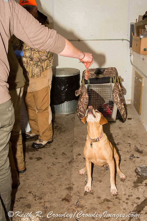 """Tom Taunton's Yellow Labrador retriever """"Rowdy"""" waits for a scrap in the cleaning shack after a South Dakota pheasant hunt"""