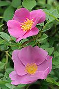 Rose blossoms<br /> Samuel de Champlain Provincial Park<br /> Ontario<br /> Canada