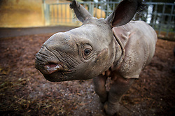 © Licensed to London News Pictures. 08/01/2013 London, UK. Jamil, a baby Indian Rhino, goes on show to the public at Whipsnade Zoo. The four week old male weighs in at 125 kilos and stays close to 18 year old mum, Behan..Photo credit : Simon Jacobs/LNP