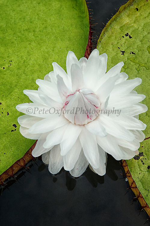Giant Amazon Water Lily (Victoria amazonica)  LARGEST LILY<br /> Permanent ponds in Savannah<br /> Rupununi<br /> GUYANA<br /> South America<br /> RANGE: Amazon River and floodplains of Guianas