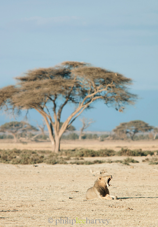 Male Lion sitting in front of an Acacia tree in the morning. Amboseli National Park, Kenya