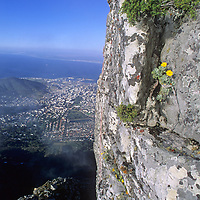 Flowers cling to a cliff on Table Mountain that overlooks Cape Town, South Africa. In the background False Bay stretches towards the Cape of Good Hope (not visible), where the Atlantic and Indian Oceans meet.