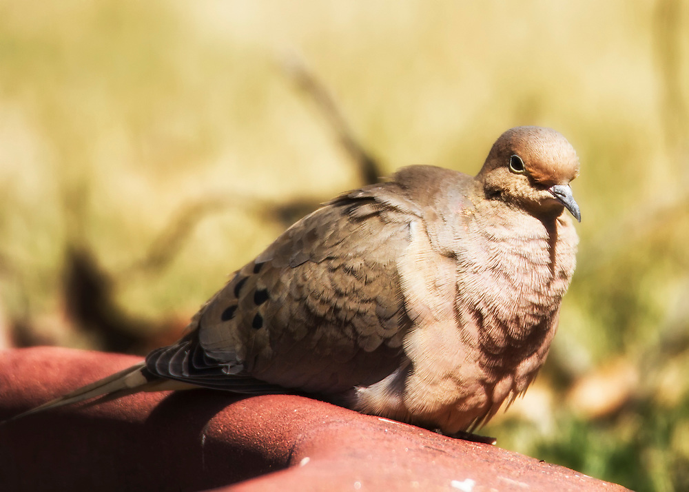 A Mourning Dove Basks In The Sunlight After The Rain
