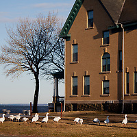 A small flock of Snow Geese graze in the grassy field of sandy hook.