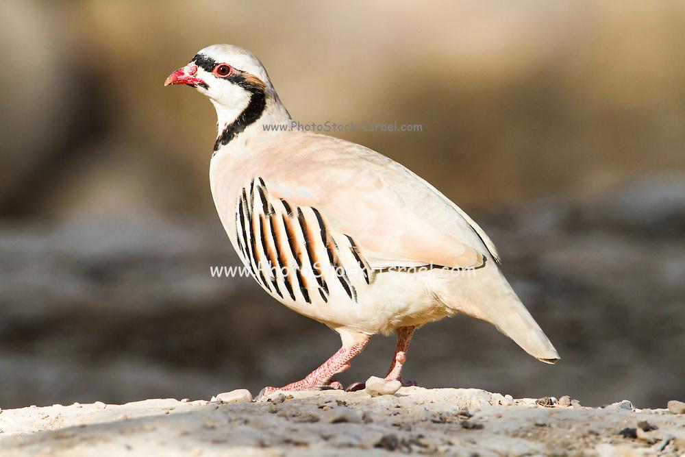 Chukar Partridge or Chukar (Alectoris chukar) Photographed in Israel, Arava desert
