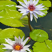 Water lillies on pond. Riviera Maya, Quintana Roo. Mexico.