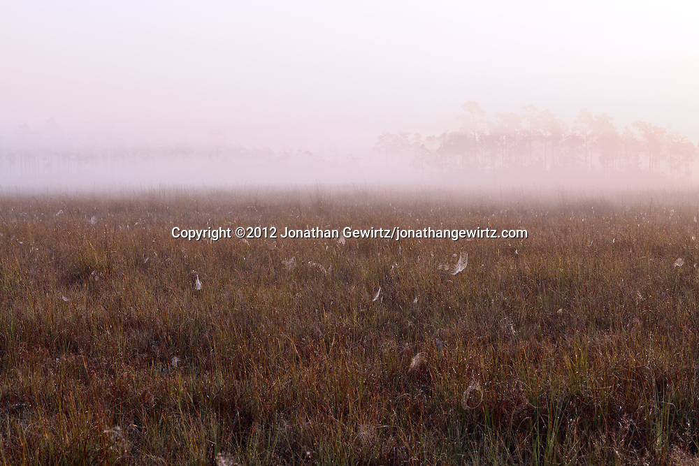 Early-morning fog in a sawgrass meadow full of spider webs in Everglades National Park, Florida. WATERMARKS WILL NOT APPEAR ON PRINTS OR LICENSED IMAGES.