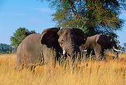 Elephants in Moremi National Park, Botswana in Southern Africa