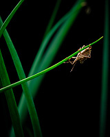 Stink Bug on a Bunching Onion stalk.Image taken with a Fuji X-T3 camera and 80 mm f/2.8 macro lens (ISO 160, 80 mm, f/11, 1/60 sec)