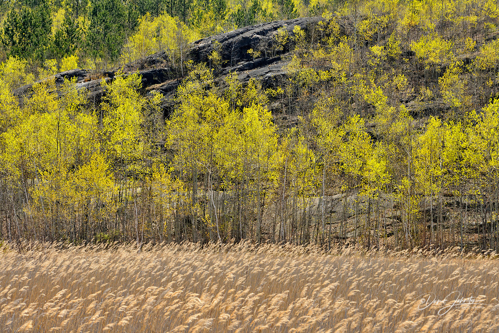 Hillside of aspen with early spring foliage overlooking the wetlands near Robinson Lake, Greater Sudbury , Ontario, Canada