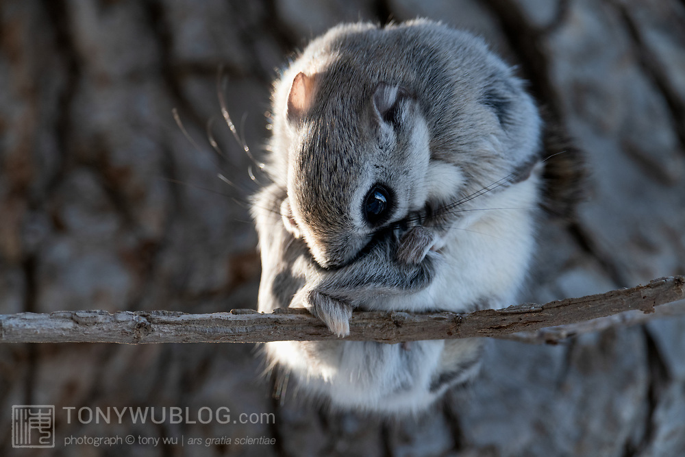 This is a Pteromys volans orii flying squirrel male grooming itself after emerging from his nest on an early winter morning. This male shared the nest with a female. The pair mated 10 days after this photo was taken.