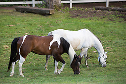 two horses grazing on a ranch