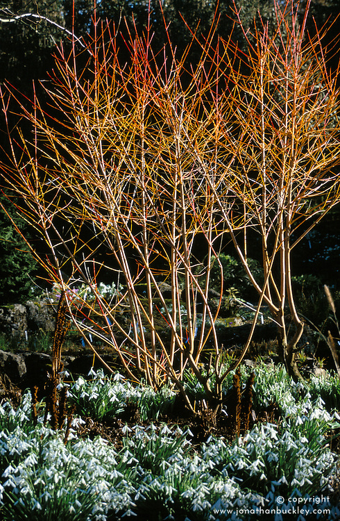 The bright fiery red and orange stems of Cornus sanguinea 'Midwinter Fire' with Galanthus 'Atkinsii' planted around it's base at Glen Chantry - snowdrops. Design: Sue and Wol Staines