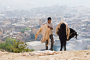 A young man unloads sheep leather skins, coming from the tanneries, from the back of his  horse to set on the ground to dry on a hill overlooking Fes El-Bali, Morocco.