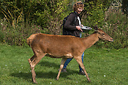 Red Deer (Cervus elaphus)<br /> Secret World Wildlife Rescue Center<br /> Somerset<br /> England<br /> UK<br /> captive