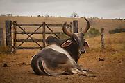 Carlos Chagas_MG, Brasil...Touro da raca Nelore em Carlos Chagas, Minas Gerais...Nelore bull in Carlos Chagas, Minas Gerais...Foto: LEO DRUMOND / NITRO