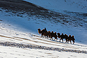 In the Gobi Desert of Mongolia, a camel herder leads his Bactrian camels (Camelus bactrianus) over the snow covered dunes during winter, Gobi Desert, Mongolia