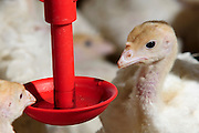 24 day old turkey hatchlings in a breeding and fattening coop. The red feeding bowls are manufactured by Plason
