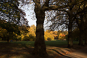 Autumn scene in Green Park, London, England, United Kingdom. Trees during the fall season discolour, turning yellow and brown before dropping. With low light this makes for a beautiful time of year.