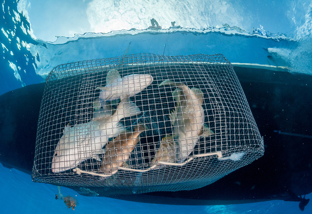 A fisherman's cage is pulled up by researchers. It is illegal to fish for Nassau grouper December - February in the Bahamas when this image was taken. Lack of enforcement is a common issue in Bahamian fisheries issues. The scientists tagged and released the fish.