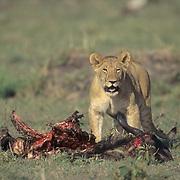 African Lion, (Panthera leo) Older cub feeding on wildebeest. Masai Mara Game Reserve. Kenya. Africa.