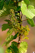 Flowering grape vine. Traminer. Amyntaion wine cooperative, Amyndeon, Macedonia, Greece