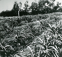 farmer in pineapple field in Hollywood
