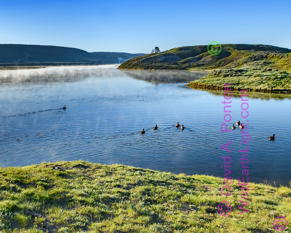 Canada geese on the Yellowstone River in Hayden Valley with light fog in the early morning, Yellowstone National Park, © David A. Ponton