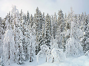 View of the snowy Winter landscape of the forest on 18th February 2020 on the edge of Immeljarvi lake near Levi in Finnish Lapland. Levi is a winter sports paradise with 43 ski slopes, 230 km of cross-country ski trails, 20km of Winter hiking routes and 886 km of snowmobile trails.
