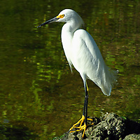 Wildlife bird photography of a Snowy Egret at the J. N. Ding Darling National Wildlife Refuge and Sanctuary on Sanibel Island in Southwest Florida.<br /> <br /> Florida wildlife photo prints at http://fineartamerica.com/featured/snowy-egret-juergen-roth.html