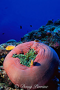white-maned or pink anemonefish, Amphiprion perideraion, in magnificent sea anemone, Heteractis magnifica, New Drop-Off, Palau ( Belau ), Micronesia ( Western Pacific Ocean )