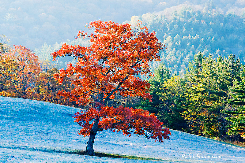 Lone maple tree draped in autumn red in frosted meadow at sunrise near Blowing Rock North Carolina