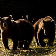 Alaskan Brown Bear (Ursus middendorffi) Yearlings on bank.  Katmai National Park. Alaska.
