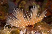 Tube worm (Protula tubularia) Larvotto Marine Reserve, Monaco, Mediterranean Sea<br /> Mission: Larvotto marine Reserve