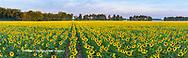 63801-06920 Sunflower field Jasper Co.  IL