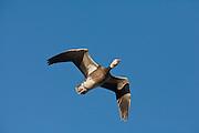 Blue phase snow goose in flight