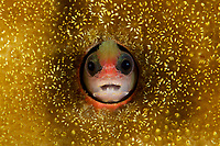 Tufted Blenny (Mccoskerichthys sandae)<br /><br />Coiba Island, <br />Coiba National Park, Panama<br />Tropical Eastern Pacific Ocean<br /><br />Octopus Rock dive siter