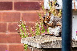 A Grey Squirrel (Scientific name Sciurus Carolinensison) sits on a stone gatepost and cleans his face, during a brief visit to a small Sheffield suburban garden.<br /> <br /> 20 August 2021<br /> <br /> www.pauldaviddrabble.co.uk<br /> All Images Copyright Paul David Drabble - <br /> All rights Reserved - <br /> Moral Rights Asserted -