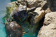 European pond turtle (Emys orbicularis), also known as the European pond terrapin. in an indoor aquatic pond