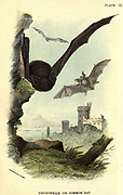 The common pipistrelle (Pipistrellus pipistrellus) is a small pipistrelle microbat whose very large range extends across most of Europe, North Africa, South Asia, From the book ' A hand-book to the British mammalia ' by  Richard Lydekker, 1849-1915  Published in London, by Edward Lloyd in 1896