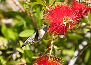 Black-chinned Hummingbird, Archilochus alexandri