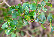 Detail of leaves of populus nigra, black poplar tree, native to Britain, Butley, Suffolk, England, UK