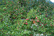 Apple tree with ripe red apples on the roadside. Photographed in Neustift, Austria