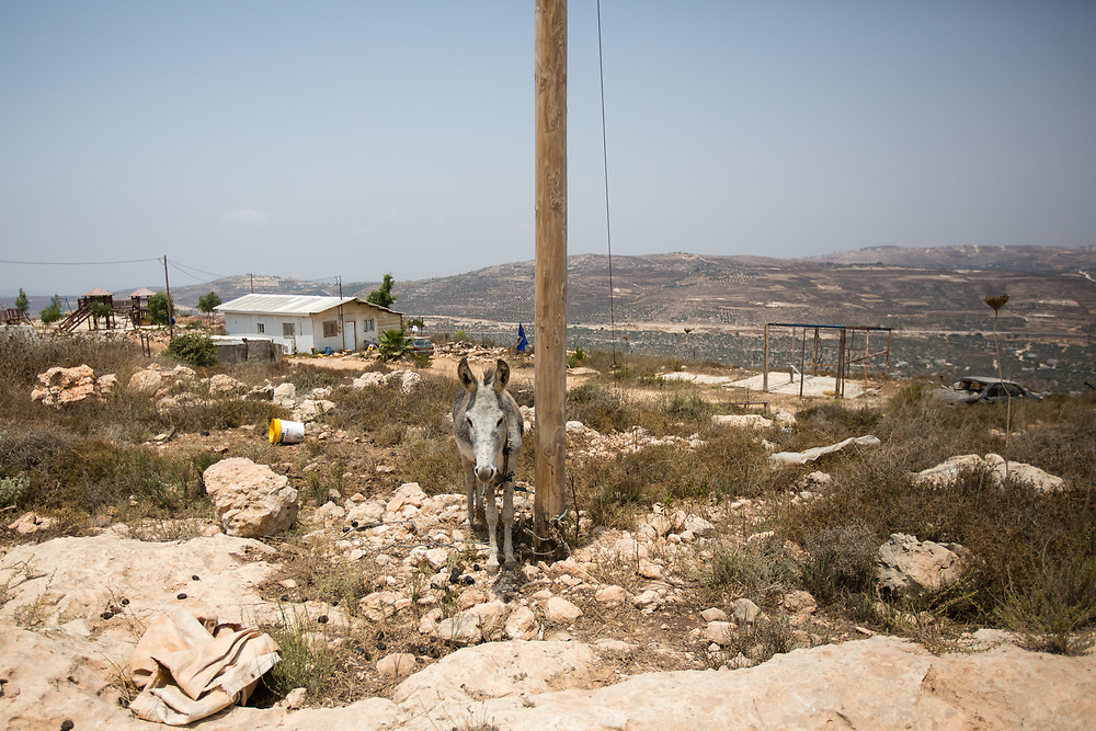A donkey is seen tied to a wooden post on a hilltop in the West Bank Jewish settlement of Yitzhar, south of the Palestinian West Bank city of Nablus, on August 5, 2015.