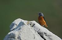 Rock thrush, Monticola saxatilis, The Ignoussa mountains, Lake Kerkini, Macedonia, Greece