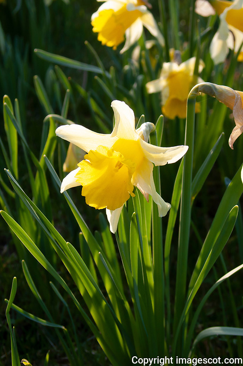 Wild daffodils<br /> *ADD TO CART FOR LICENSING OPTIONS*