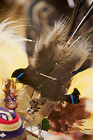 Detail of Brown Sicklebill Bird of Paradise in headdress..Mount Hagen, Western Highlands Province, Papua New Guinea.